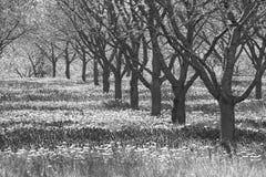 Graue und düstere Reihe von Apfelbäumen im Obstgarten Stockfotos
