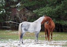 Graue und rote Pferde auf einer Lichtung Lizenzfreies Stockfoto