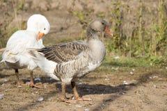 Graue und weiße Ente Stockfoto