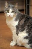 Graue und weiße Katze Stockfotografie
