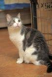 Graue und weiße Katze Lizenzfreie Stockbilder