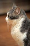 Graue und weiße Katze Lizenzfreies Stockfoto