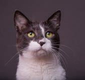 Graue und weiße Katze auf dunklem Hintergrund Lizenzfreies Stockbild