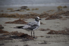 Graue und weiße Seemöwe, die auf dem Ufer steht Stockfotografie