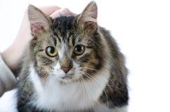 Graue und weiße Tabby Cat Laying auf dem weißen Hintergrund, der gestreichelt wird Lizenzfreie Stockbilder