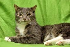 Graue und weiße Katze auf einem Grün Lizenzfreies Stockfoto