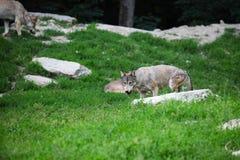 Graue Wölfe, die auf Karkasse speisen Stockbild
