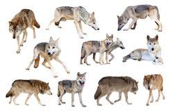 Graue Wölfe. Getrennt über Weiß Stockfotografie
