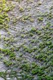 Graue Wand völlig bedeckt mit dem grünen hängenden Efeu, Hintergrundbeschaffenheit lizenzfreies stockfoto