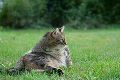 Graue weiße gestreifte Mitteleuropäer Shorthair-Katze auf Jagden für eine Maus in Deutschland stockbild