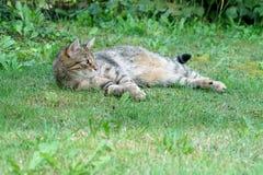 Graue weiße gestreifte Mitteleuropäer Shorthair-Katze auf Jagden für eine Maus in Deutschland stockfoto