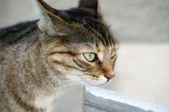 Graue weiße gestreifte Mitteleuropäer Shorthair-Katze auf Jagden für eine Maus in Deutschland lizenzfreies stockfoto