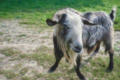 Graue Ziege auf einem grünen Feld Lizenzfreies Stockfoto