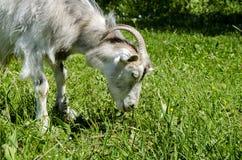 Graue Ziege mit Hörnern Stockbild