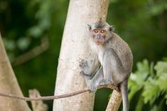 Grauer Affe auf Baum Stockfotografie