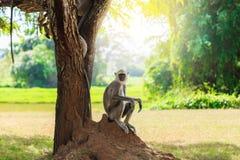 Grauer Affe im Dschungel, der unter einem Baum sitzt Stockfotografie