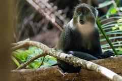 Grauer Affe, Jozani Forest National Park, Sansibar Stockbild