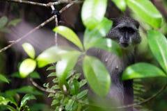 Grauer Affe, Jozani-Wald, Sansibar Lizenzfreie Stockfotografie