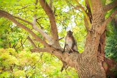 Grauer Affe sitzen auf tropischem Baum Lizenzfreies Stockbild