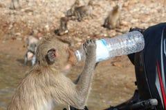 Grauer Affe trinkt Trinkwasser von einer Flasche Stockfoto