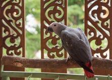 Grauer afrikanischer Papagei Stockbild