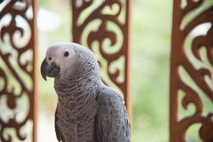 Grauer afrikanischer Papagei lizenzfreies stockbild