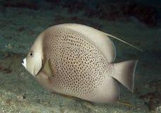 Grauer Angelfish Stockfotografie