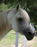 Grauer arabischer Stallion Lizenzfreie Stockfotos