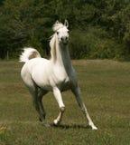 Grauer arabischer Stallion Stockfotografie