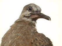 Grauer auf Segelstellung gefahrener Vogel Lizenzfreies Stockbild