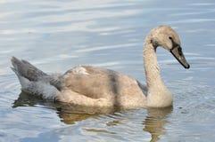 Grauer Babyschwan auf Wasser Lizenzfreie Stockfotografie