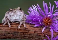 Grauer Baumfrosch nahe bei purpurroter Aster Lizenzfreies Stockfoto