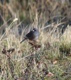 Grauer blauer Vogel Idahos auf einer Distel Lizenzfreies Stockbild