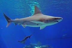 Grauer Blauhai und Haifisch hämmern unter Wasser im Meer Ansicht von der Unterseite lizenzfreie stockfotografie