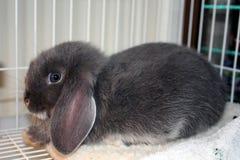 Grauer Blick der blauen Augen des Kaninchens erschrocken Lizenzfreie Stockfotos
