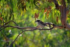 Grauer Butcherbird - Cracticus torquatus ist die weit verteilten Spezies, die nach Australien endemisch sind, auftritt in einer S stockfotos