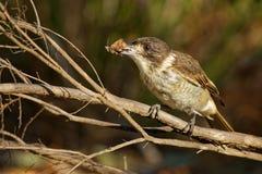 Grauer Butcherbird - Cracticus torquatus ist die weit verteilten Spezies, die nach Australien endemisch sind, auftritt in einer S stockbild