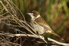 Grauer Butcherbird - Cracticus torquatus ist die weit verteilten Spezies, die nach Australien endemisch sind, auftritt in einer S lizenzfreie stockfotografie