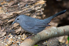 Grauer Catbird Stockbild