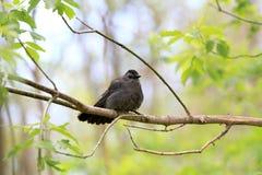 Grauer Catbird Lizenzfreies Stockfoto