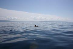Grauer Delphin im adriatischen Meer in Kroatien Stockbilder