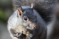 Grauer Eichhörnchenabschluß oben Stockbilder