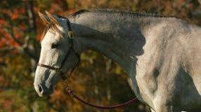 Grauer einjähriger Pferdheadshot im Herbst Stockfoto