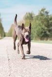Grauer erwachsener thailändischer riidgeback Hund Stockfoto
