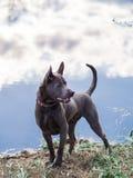 Grauer erwachsener thailändischer riidgeback Hund Stockfotos