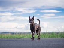 Grauer erwachsener thailändischer riidgeback Hund Lizenzfreie Stockfotos