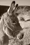 Grauer Esel Stockfoto