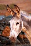 Grauer Esel Stockbild