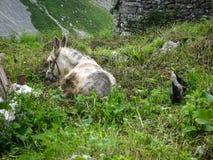 Grauer Esel auf grüner Wiese nahe Haus, Spanien Lizenzfreies Stockfoto