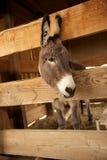 Grauer Esel in einer hölzernen Feder Lizenzfreies Stockbild